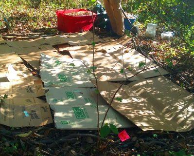 Cardboard layout for mushroom bed